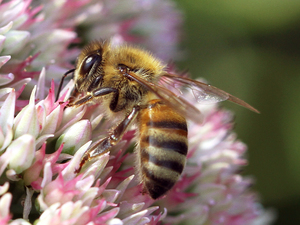 "Pesticides called ""neonics"" are popular among farmers, but also have been blamed for killing bees. In Canada, the province of Ontario is trying to crack down on neonics, with mixed results."