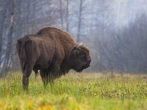 A modern European bison from the Białowieża Forest in Poland.