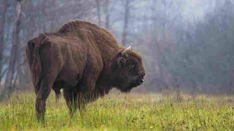 'Higgs Bison' Is The Missing Link In European Bison Ancestral Tree