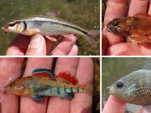 Micro-fish caught by Ben Cantrell: (top row) bleeding shiner, knobfin sculpin, (bottom row) plateau darter and bantam sunfish.