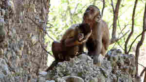Those Ancient Stone Tools — Did Humans Make Them, Or Was It Really Monkeys?