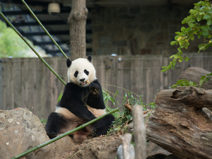 Bao Bao has been living separately from her mother, Mei Xiang, since March 2015.