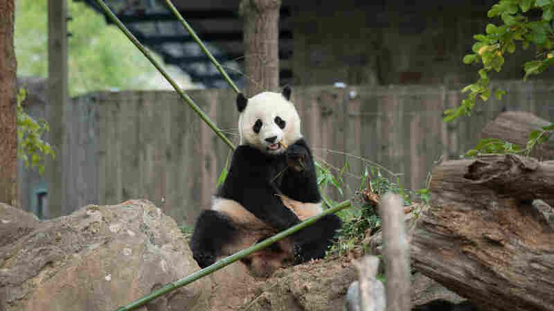 Bye-Bye, Bao Bao: Popular Giant Panda Heads To China This Winter