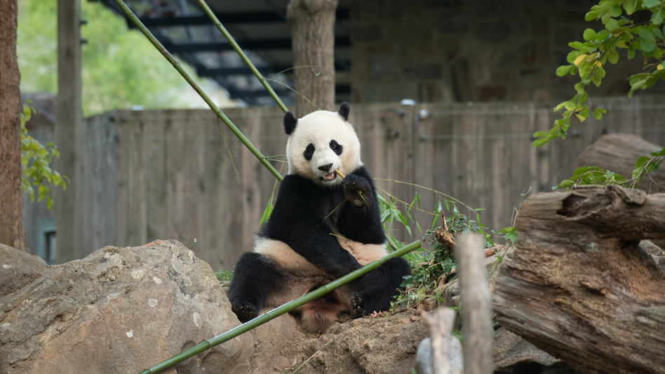 Bao Bao has been living separately from her mother, Mei Xiang, since March 2015. (Connor Padraic Mallon/The Smithsonian's National Zoo)