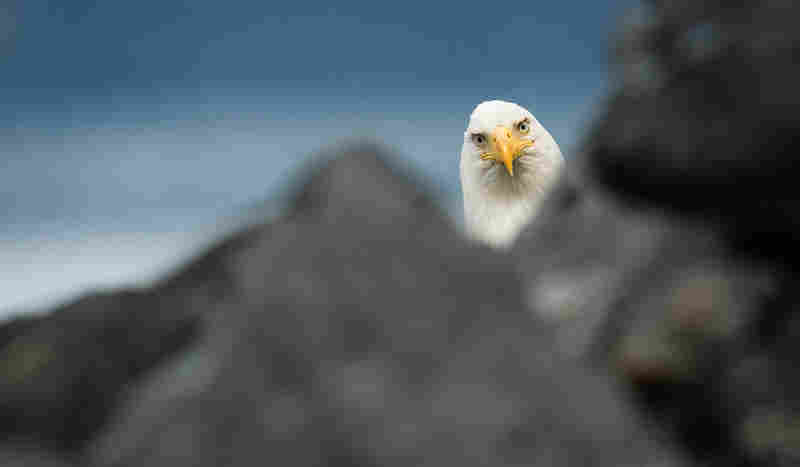 A nosy bald eagle peeks out from behind the rocks to check out what photographer William Saunders is up to, Cordova, Ala.