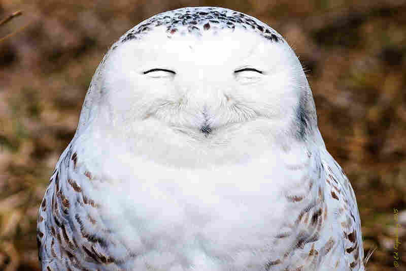 A snowy owl looks very content in the Canadian province of Ontario.