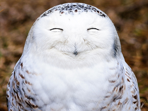 A snowy owl looks very content in Ontario, Canada.