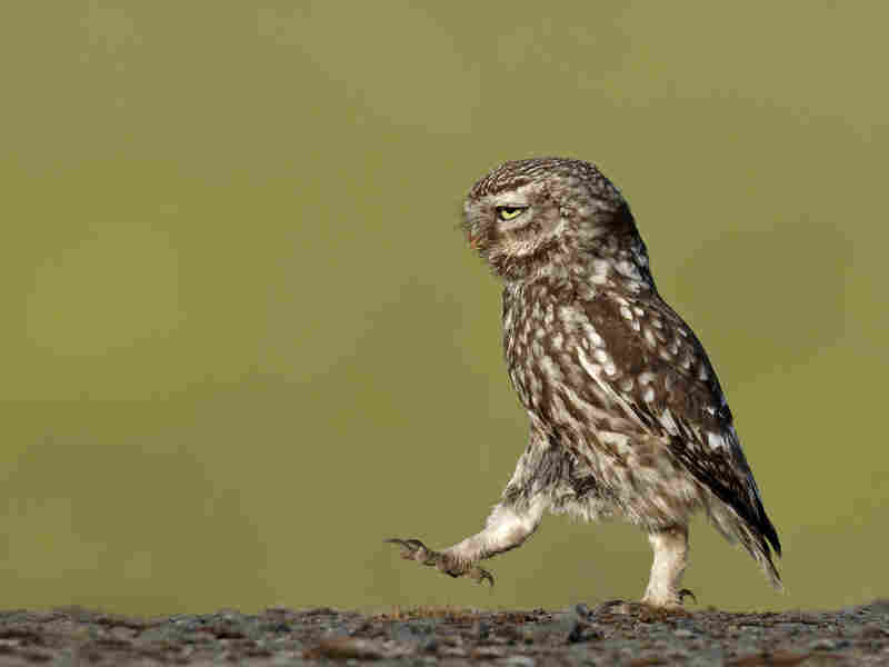 A wild owl appears to be marching in a very serious manner, Lancashire, U.K., in June 2011.