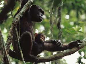 """New research confirms that wild chimpanzee mothers play a key role in the """"home schooling"""" of their offspring, including lessons on the use of specialized tools to fish for a meal in the termite hills of Nouabalé-Ndoki National Park."""