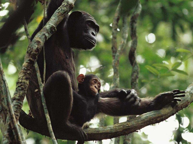 chimpanzee-porn-oral