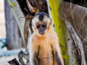 "New research shows that capuchin monkeys crack stones, unintentionally creating ""flakes,"" a product ancient man made with intention for use as tools."