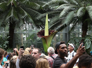 Hundreds of people flocked to the United States Botanic Garden to see (and smell) a corpse flower in full bloom.