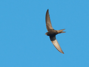Researchers say the common swift is known for long periods of flight.