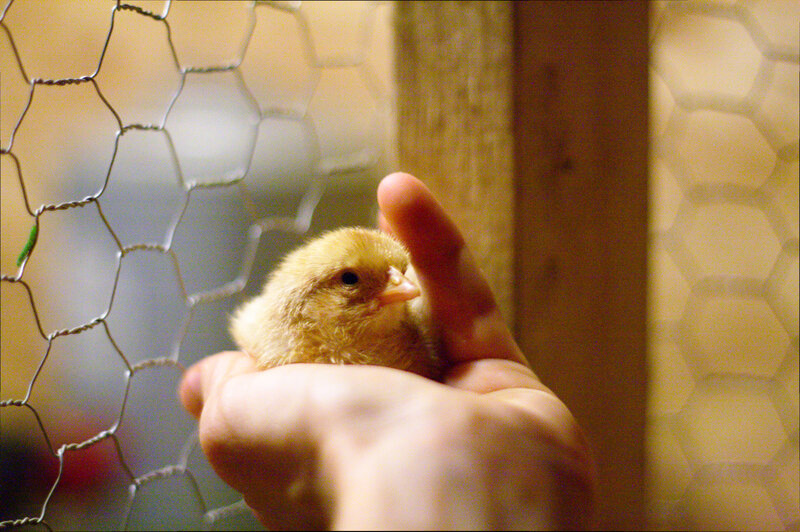 technology may rescue male baby chicks from the grinder the salt npr