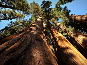 Giant sequoias in the Sierra Nevada range can grow to be 250 feet tall — or more.