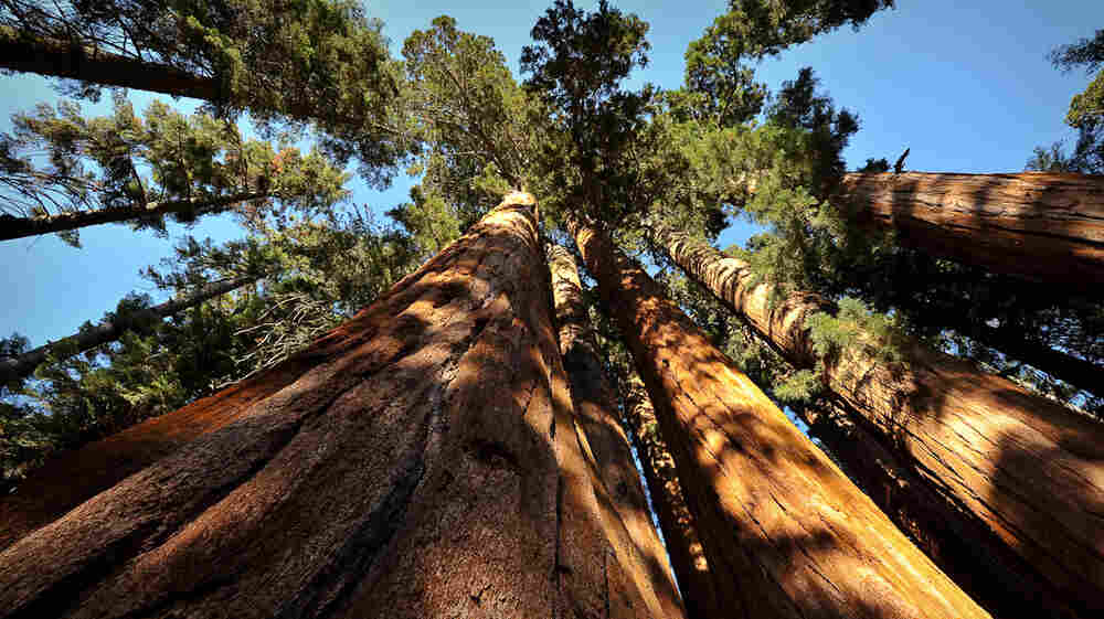 How Is A 1,600-Year-Old Tree Weathering California's Drought?