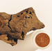 Researchers Say They've Found A Bit Of Fossilized Dinosaur Brain