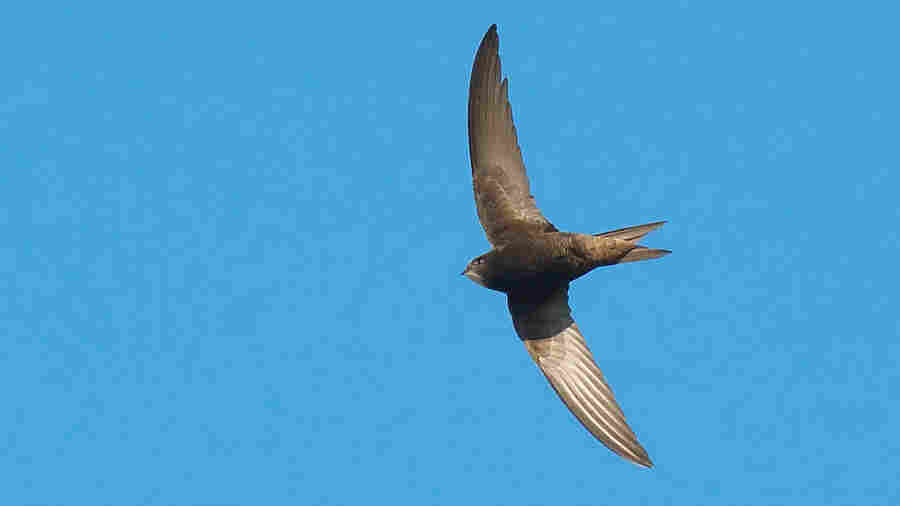 This Bird Can Remain Airborne For 10 Months Straight