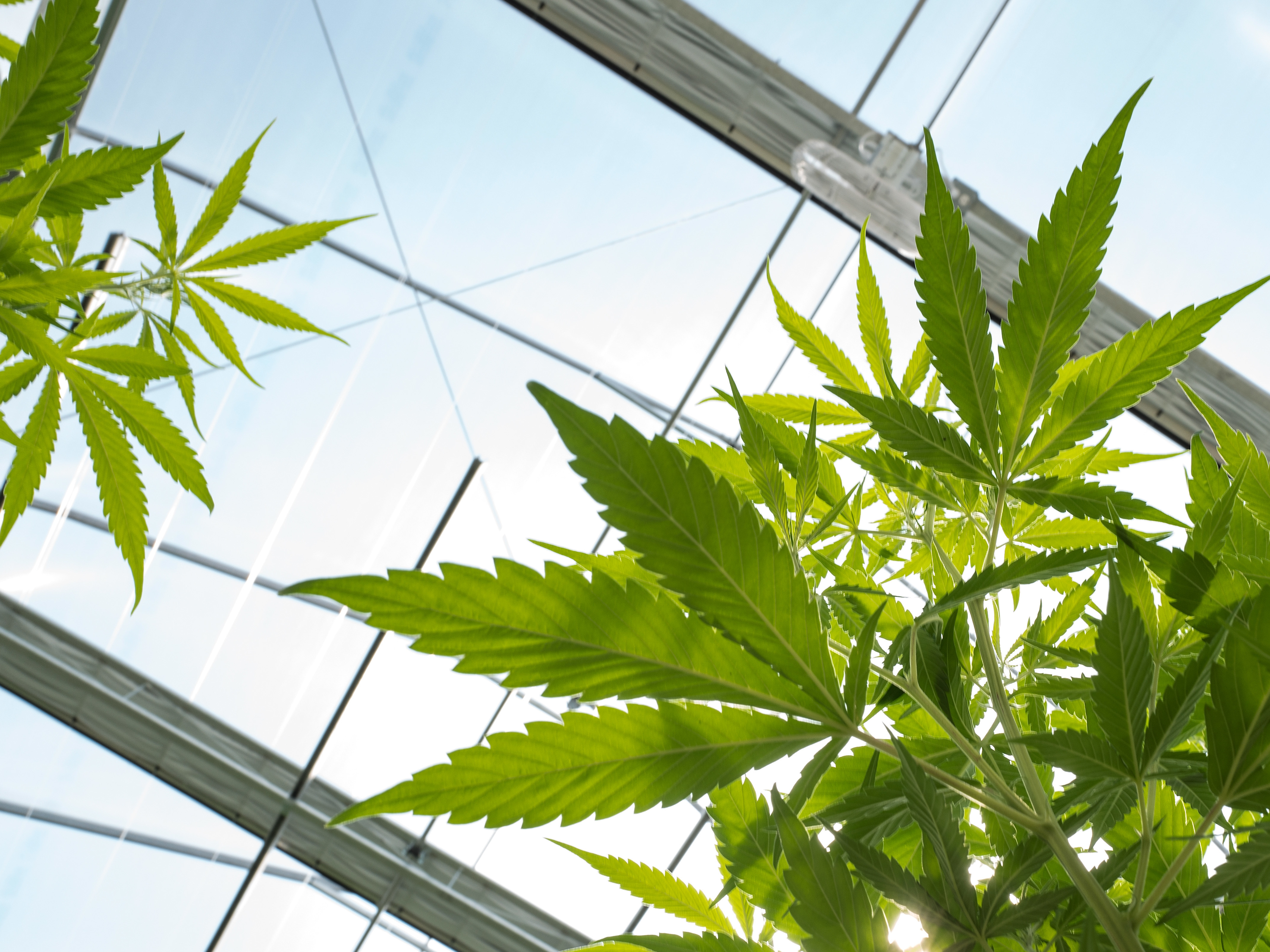 Local legislators divided on pot legalization measure Prop. 64