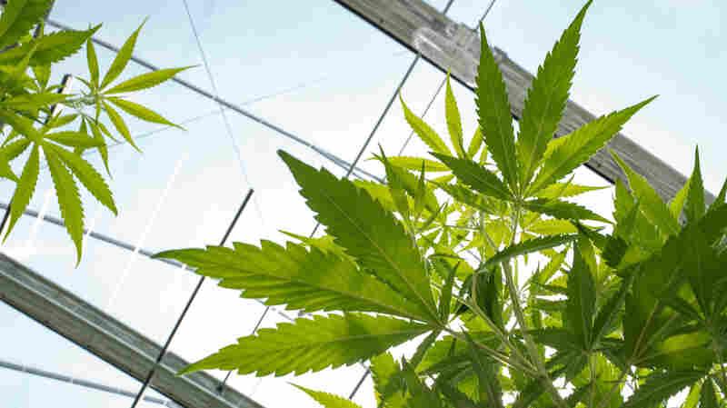 The Trend Toward Legalizing Recreational Marijuana