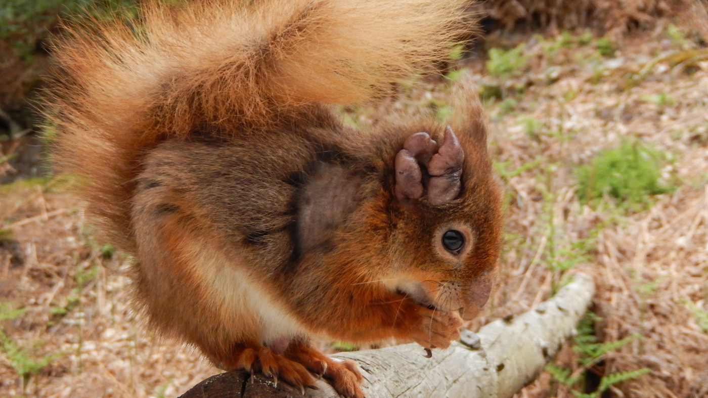 Study Finds That Leprosy Circulates In Britain's Red Squirrels : Goats and Soda : NPR