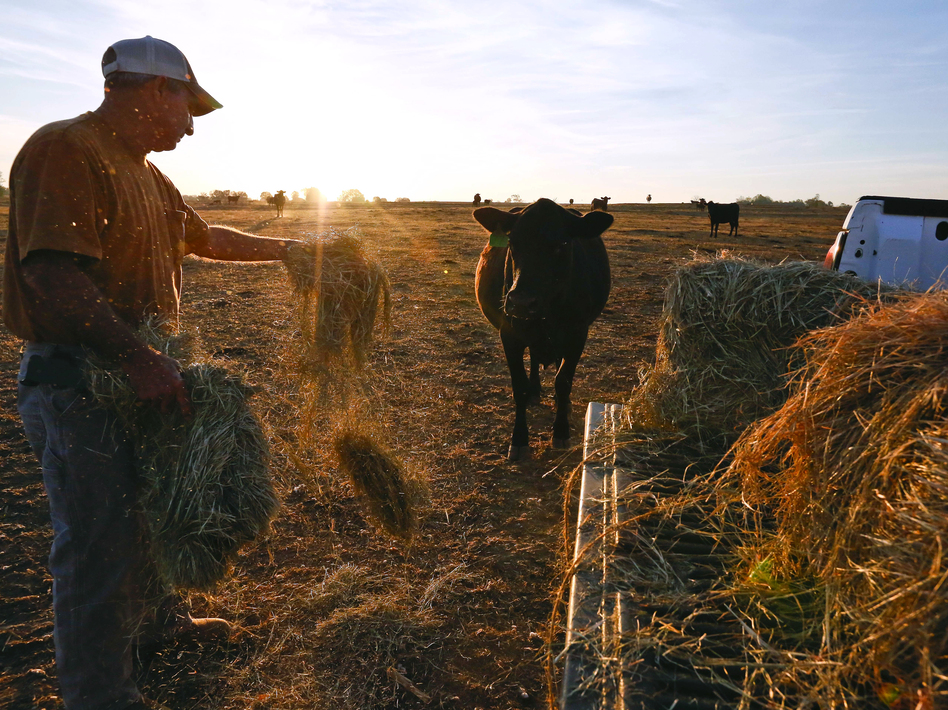 David Bailey tosses hay to one of his remaining cows in Dawson, Ala., on Oct. 26. Bailey had to sell off half of his cattle herd — more than 100 animals — because he doesn't have enough hay to feed them through the winter. (Brynn Anderson/AP)