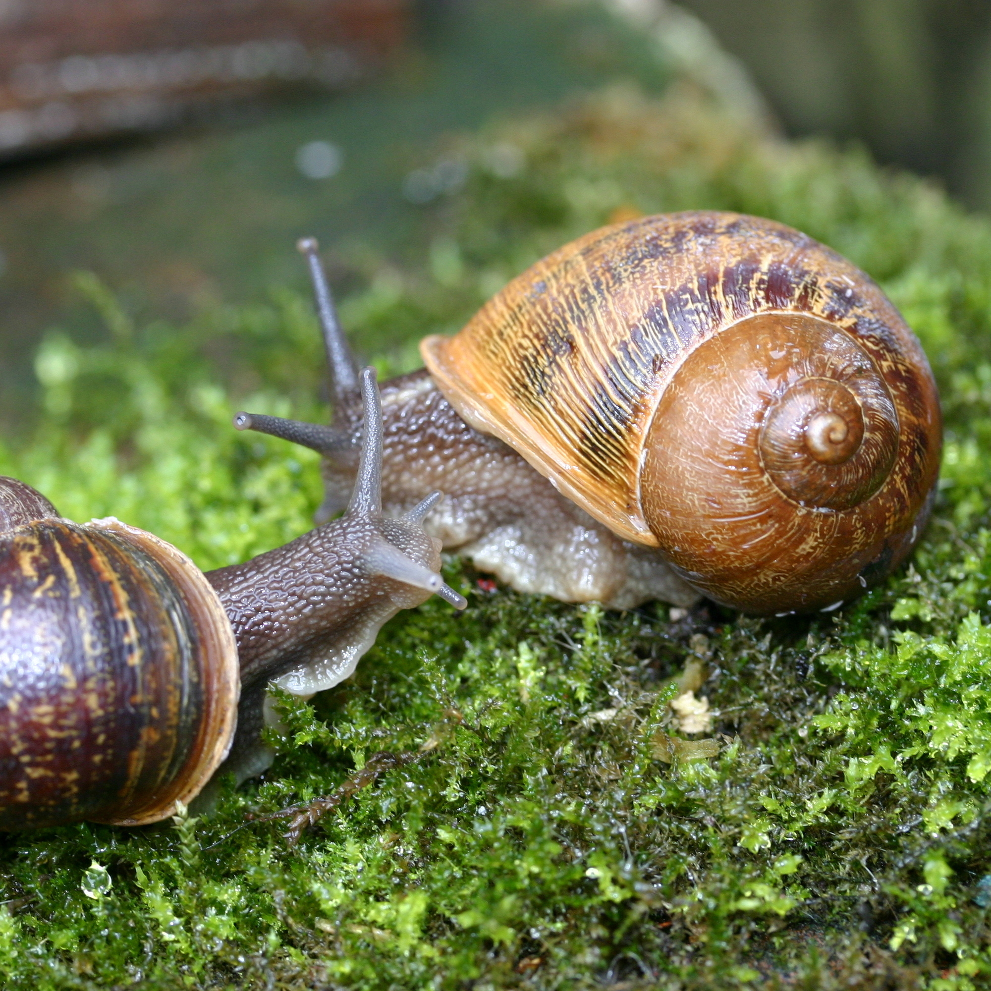 Animal Insemination Porn can't hurry love: rare snail finds romance after global