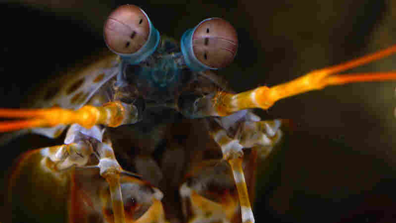 WATCH: Mantis Shrimp's Incredible Eyesight Yields Clues For Detecting Cancer