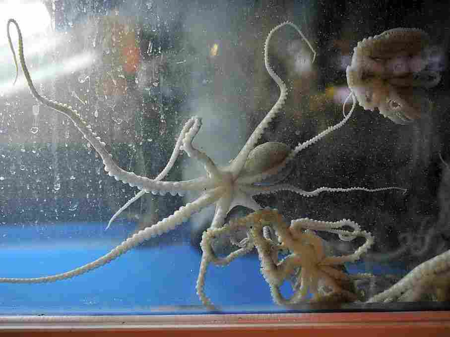 The practice of eating live octopus is a tradition in some Asian countries that has been appearing in some U.S. restaurants. Here live octopuses are seen in a tank at a restaurant south of Seoul, Korea, in 2012.