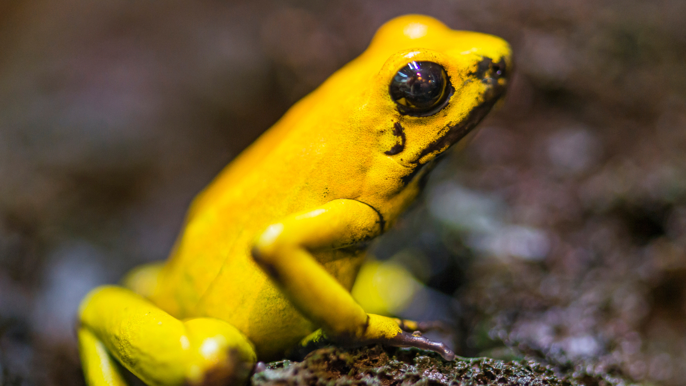 poison dart frogs might make good medicine shots