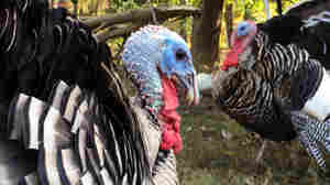 Heritage Turkeys Make A Comeback, But To Save Them We Must Eat Them