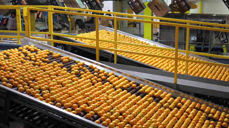 After A Sour Decade, Florida Citrus May Be Near A Comeback