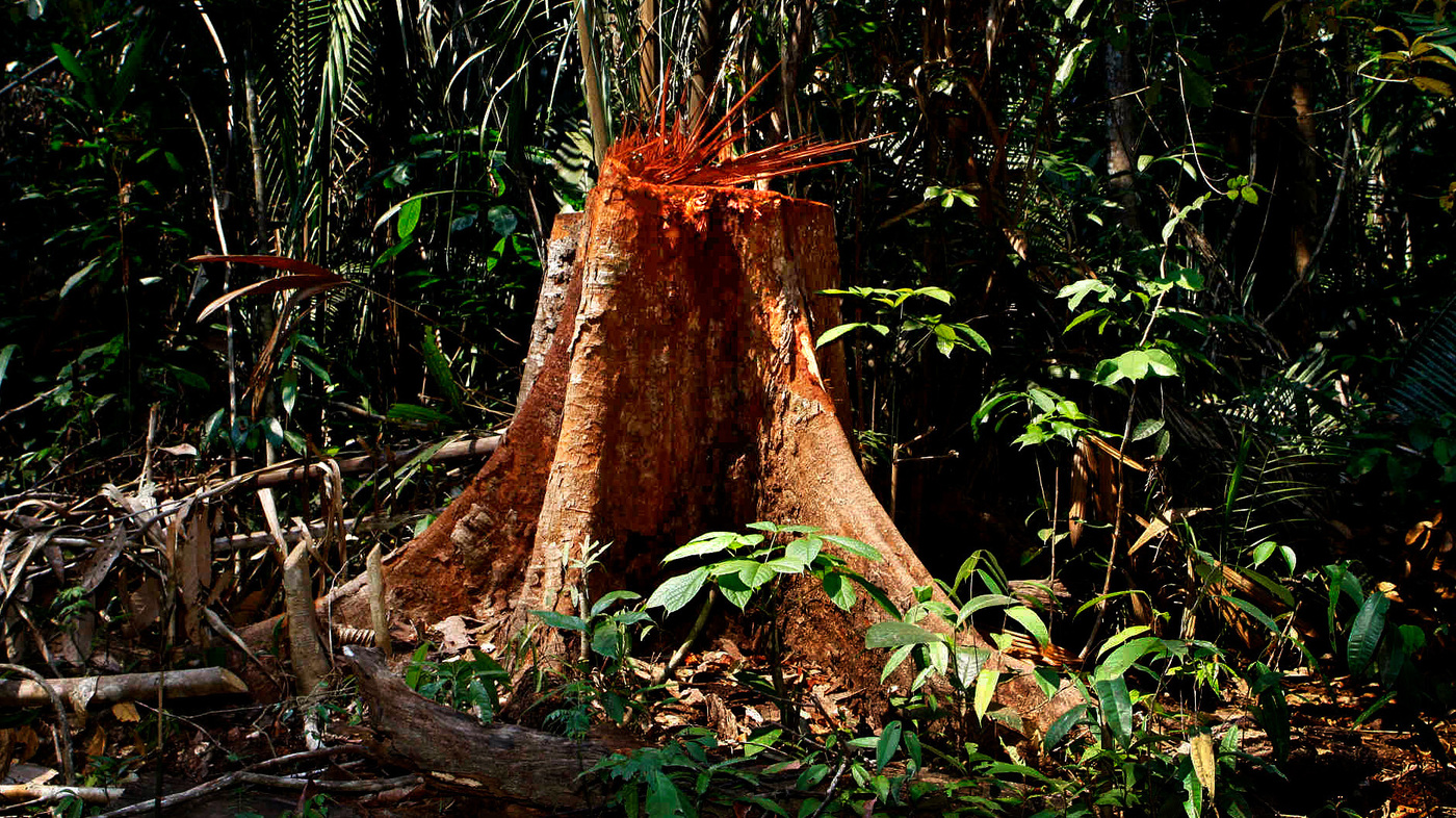 amazon rainforest deforestation case study Home gcse  geography  amazon rain forest case study  the amazon rainforest  from 2002 to 2006 conserved land in the amazon tripeled and deforestation rates .