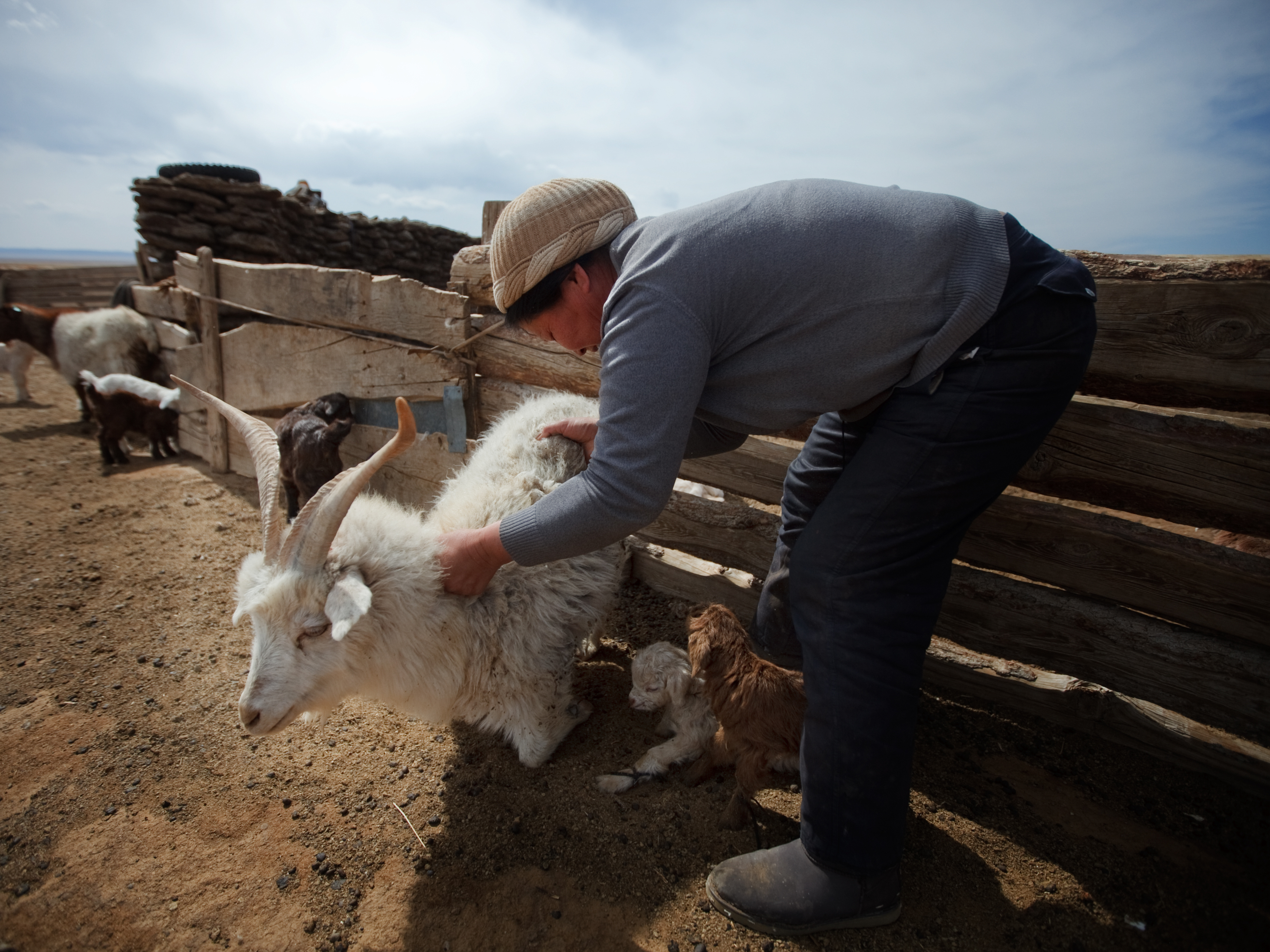 Thirty years ago, when the grass grew tall, cashmere goats made up 19 percent of all livestock in Mongolia. Since then, their numbers have skyrocketed to make up 60 percent today. John W. Poole/NPR.
