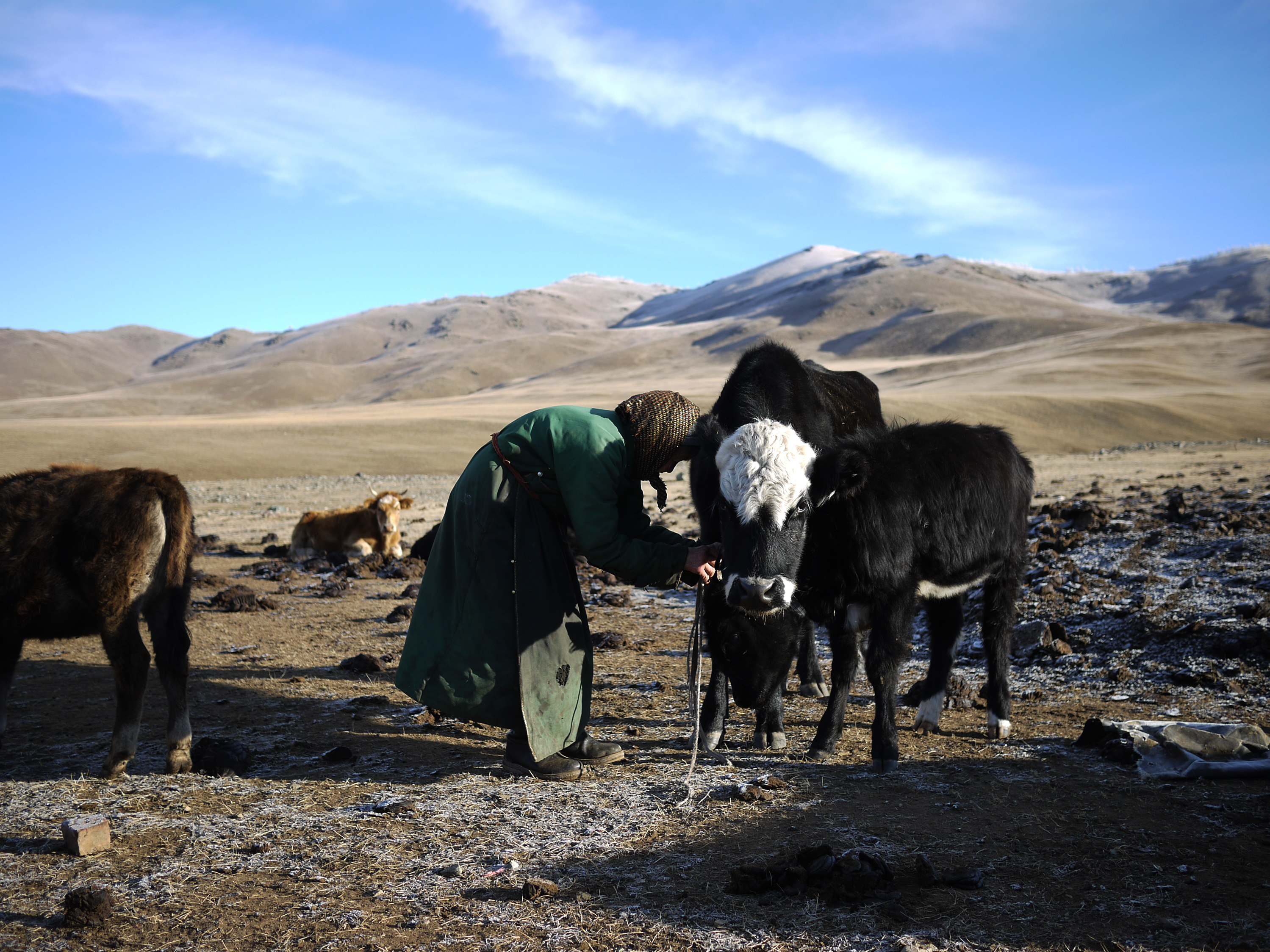Lkhagvajav Bish unties one of her cows. Bish's herd has dwindled since she began raising cashmere goats. She used to have 20 goats; now she has 150. 'They're just taking over,' she says. Rob Schmitz/NPR.