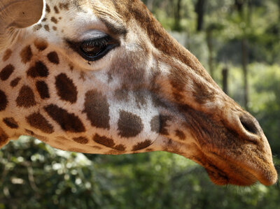 Giraffe Now Listed As 'Vulnerable' To Extinction As Population Plummets