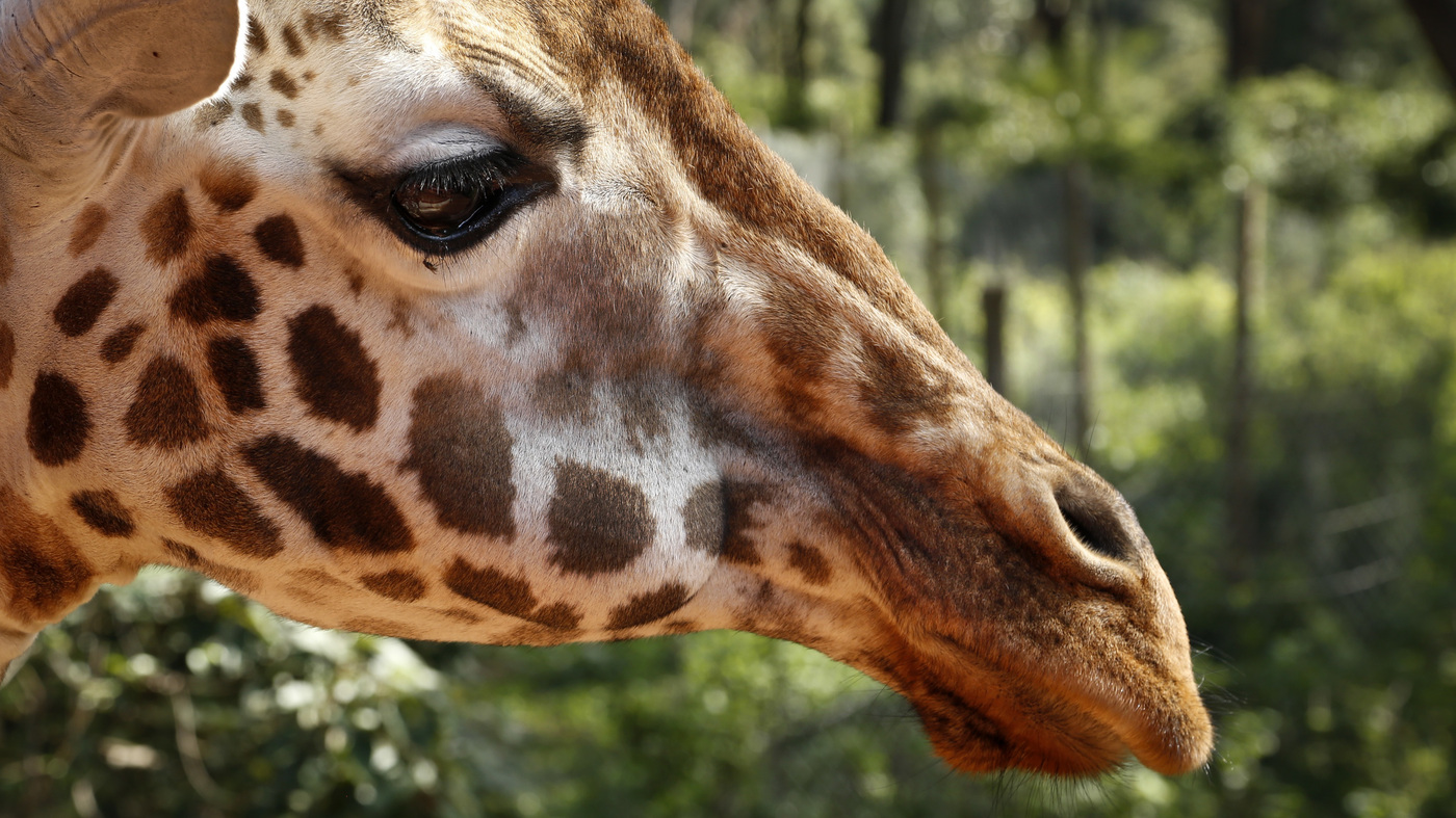 giraffe now listed as u0027vulnerable u0027 to extinction as population