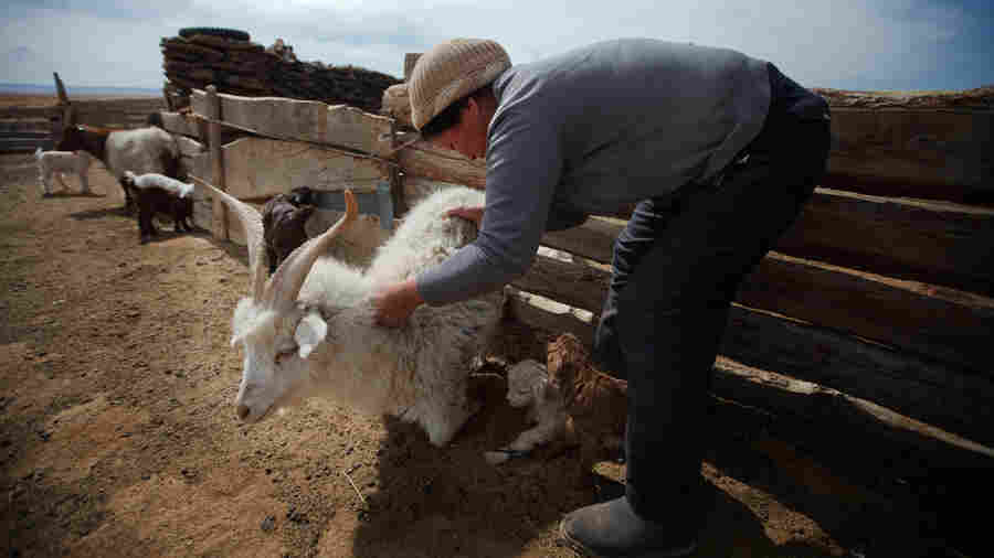 How Your Cashmere Sweater Is Decimating Mongolia's Grasslands