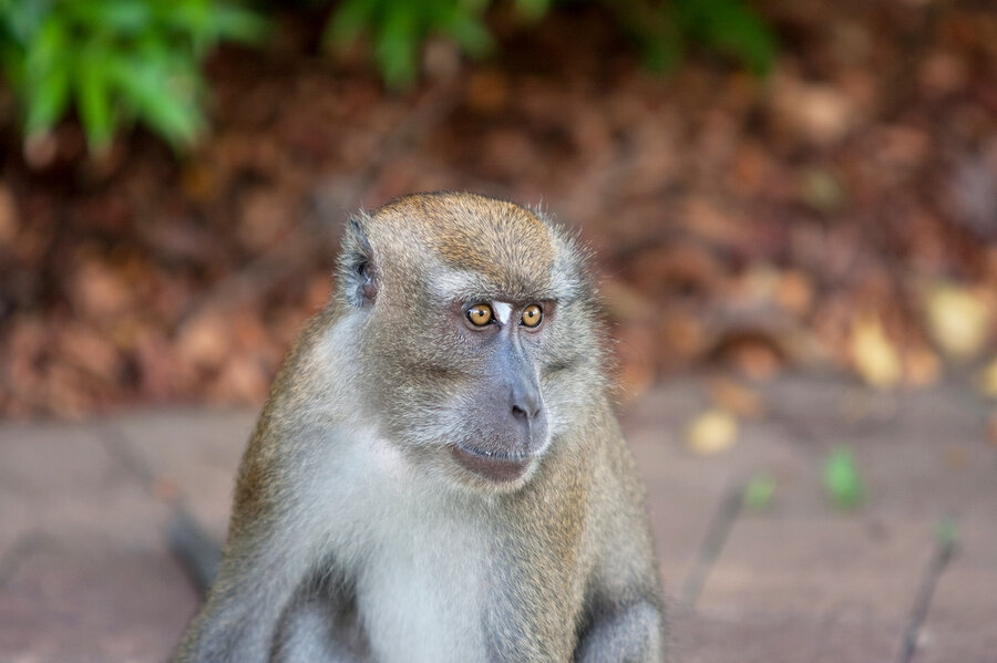 monkeys could talk if their brains were wired for language shots