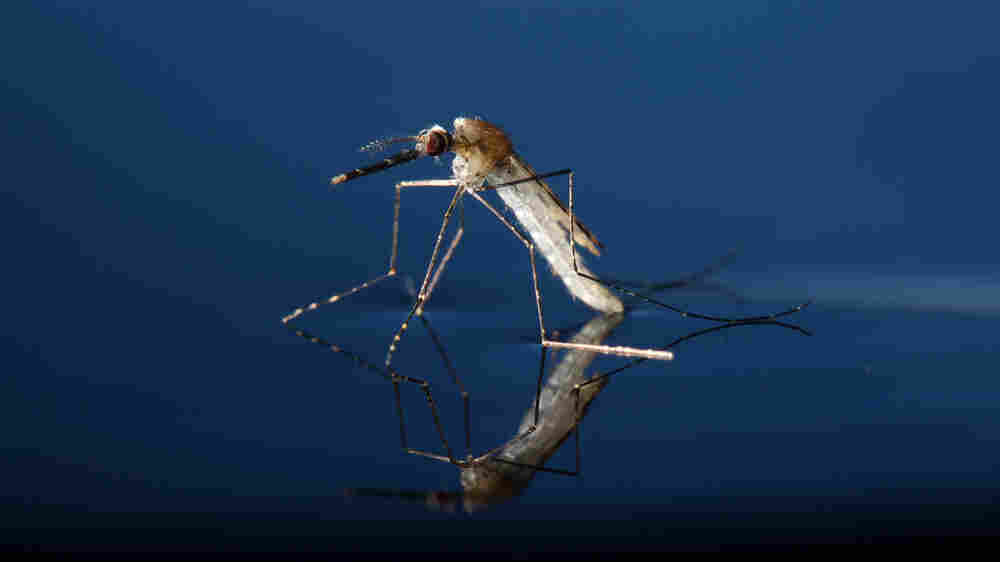 To Fight Malaria, Scientists Try Genetic Engineering To Wipe Out Mosquitoes