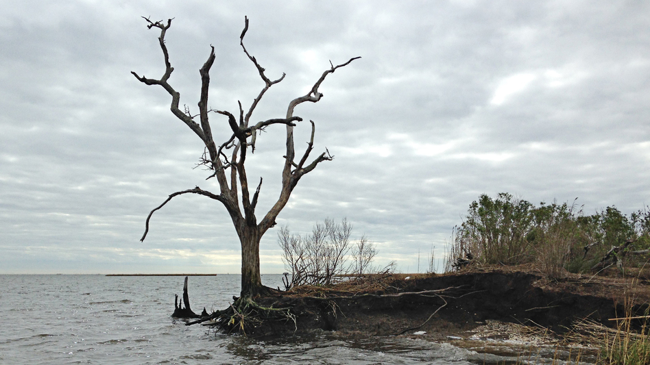 Louisiana is losing its coast faster than any other place in the world. As land disappears and the water creeps inland, ancient archaeology sites are washing away. The roots of a dead oak tree at the edge of an ancient Native American mound are all that hold the land together. (WWNO)