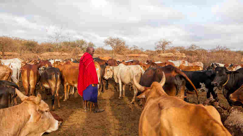 What Does Vaccinating Cows Have To Do With A Girl's Education?