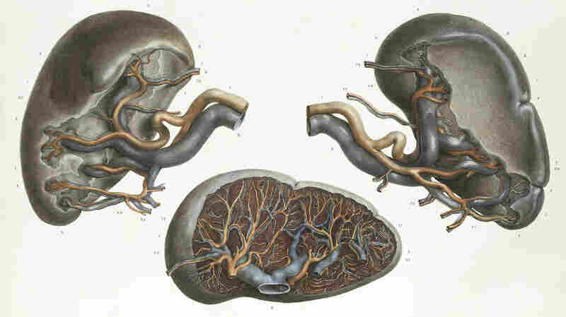 Meet The Spleen, The Strange Little Organ That Can Multiply