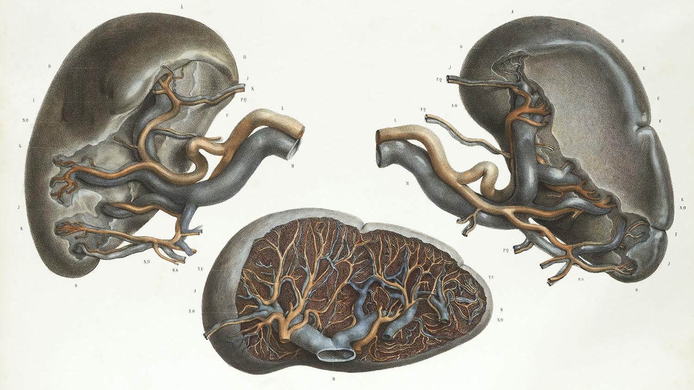 Meet The Spleen, The Strange Little Organ That Can Multiply