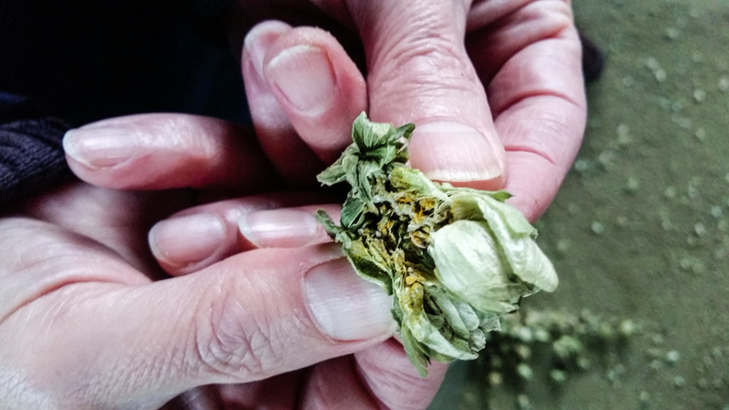 No Bitterness Here: Craft Beer Boom Boosts Spain's Hops Growers