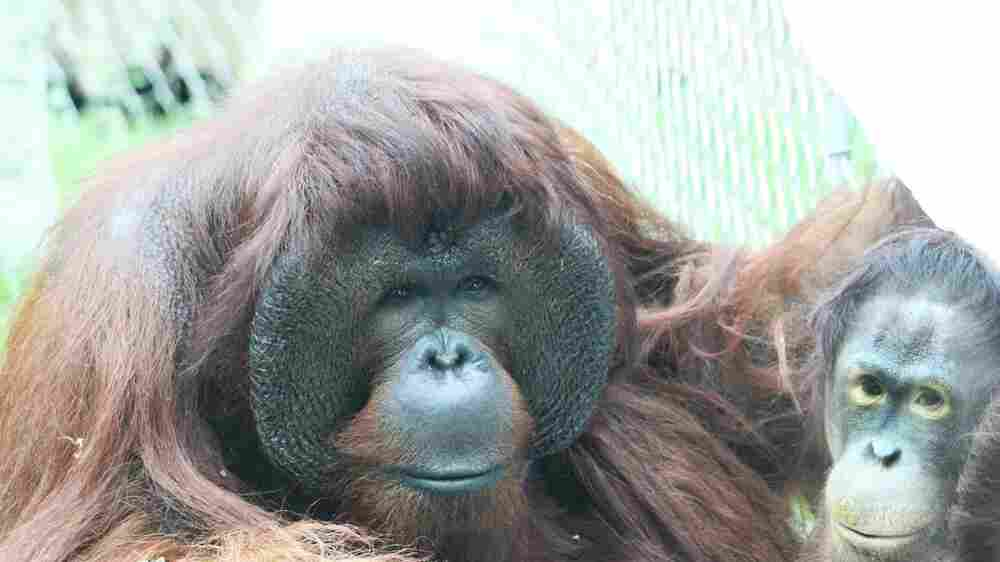 What To Expect When Your Orangutans Are Expecting? Check Their Gift Registry