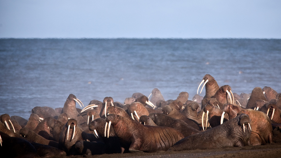Walruses rest on the shores of the Chukchi Sea, the vast majority of which was designated off-limits to drilling on Tuesday. (Ryan Kingsbery/AP)