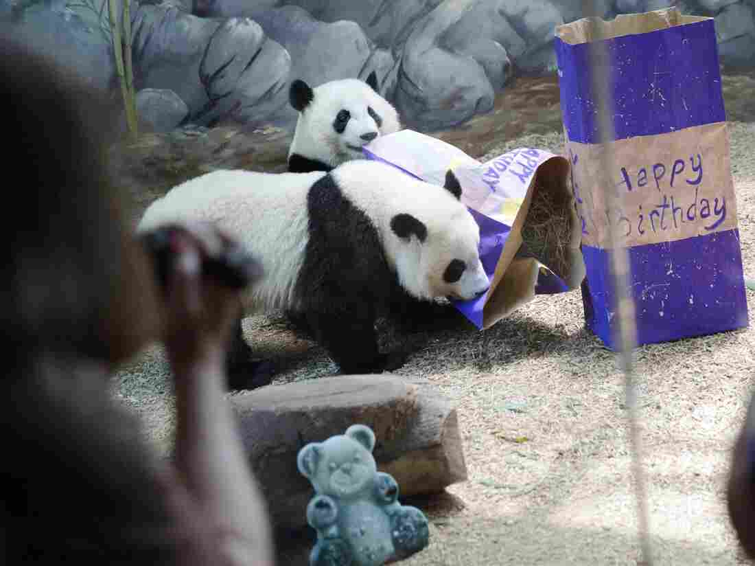Twin giant panda sisters Mei Huan, rear, and Mei Lun play with presents filled with biscuits as they celebrate their second birthday at Zoo Atlanta, on July 15, 2015.