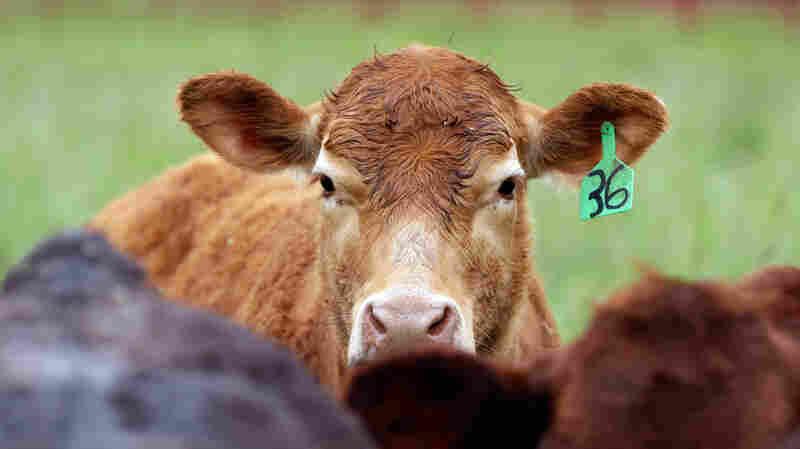 Despite Pledges To Cut Back, Farms Are Still Using Antibiotics