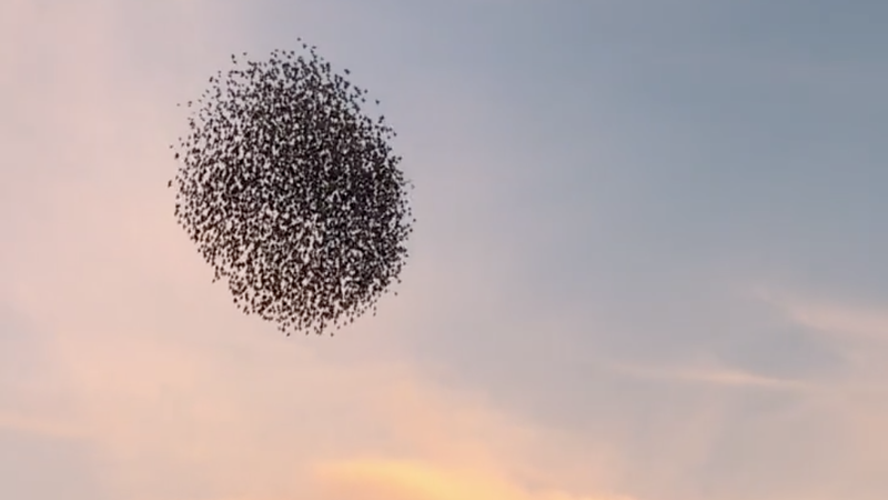 Video: Swooping Starlings In Murmuration